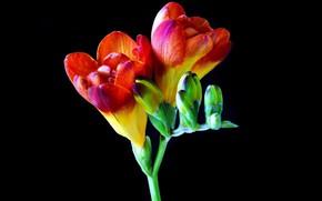 Wallpaper macro, flowers, Freesia
