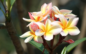 Picture light, flowers, branch, yellow, flowering, plumeria, exotic