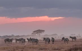 Picture nature, Africa, Zebra