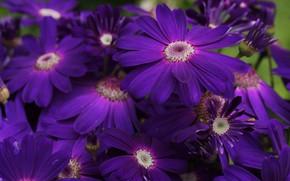 Picture flowers, close-up, Bush, petals, purple, a lot, osteospermum