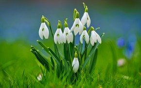Picture grass, background, spring, snowdrops, bokeh
