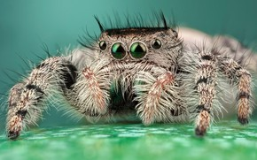 Picture eyes, macro, pose, background, legs, light, spider, hairy, striped, turquoise, jumper, jumper, spider, sakunik, the ...