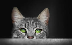 Picture eyes, cat, grey, fluffy, ears, green eyes