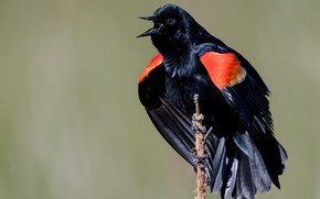Picture nature, bird, Красноплечий чёрный трупиал