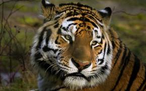 Picture look, face, tiger, portrait