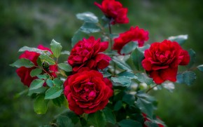 Picture Bush, roses, garden, red, buds