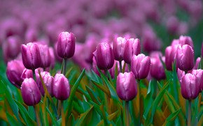 Picture flowers, spring, purple, tulips, buds, flowerbed, lilac