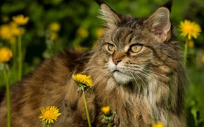 Picture cat, summer, grass, cat, look, face, flowers, grey, glade, fluffy, dandelions, Maine Coon