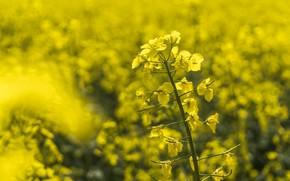 Picture Flower, Yellow, Field, Macro
