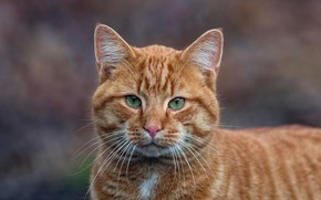 Picture cat, cat, look, face, background, portrait, red, striped, green eyes, handsome, though