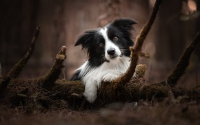 Picture nature, dog, the border collie