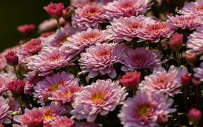 Picture flowers, Bush, pink, chrysanthemum, a lot