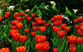 Picture greens, leaves, light, flowers, the dark background, spring, garden, tulips, red, buds, flowerbed, Calla lilies