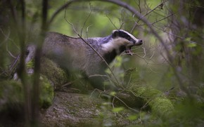 Picture forest, branches, pose, mouth, badger