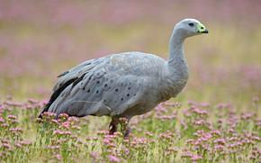Picture bird, Australia, Tasmania, куриный гусь