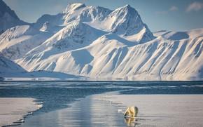 Picture winter, light, snow, mountains, shore, the slopes, tops, ice, glacier, bear, shadows, white, polar bear, …