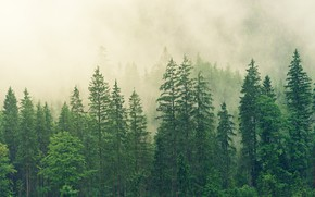 Picture forest, trees, fog, morning, ate, green, haze, pine, coniferous, the tops of the trees