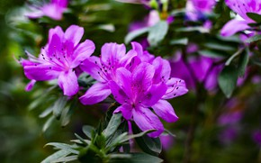 Picture leaves, flowers, branches, Bush, blur, pink, flowering, lilac, bokeh, Azalea, rhododendrons