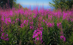 Picture flowers, thickets, glade, meadow, pink, a lot, Ivan-tea, fireweed