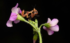Picture flowers, background, mantis
