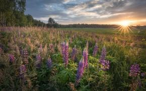 Picture the sun, dawn, meadow, Lupin
