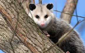 Picture tree, animal, Possum