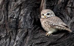 Picture bird, India, brahminy owl