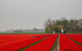 Picture flowers, fog, house, tulips, Netherlands, plantation