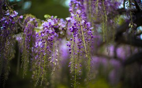 Picture flowers, blur, spring, flowering, lilac, bokeh, Wisteria, Wisteria