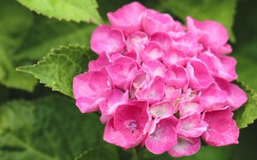 Picture leaves, flowers, pink, hydrangea