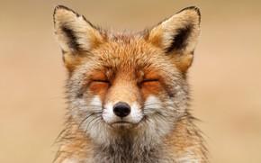 Picture background, Fox, sleeping, Fox