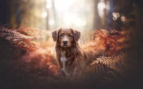 Picture forest, look, dog, fern, bokeh, Nova Scotia duck tolling Retriever, Toller
