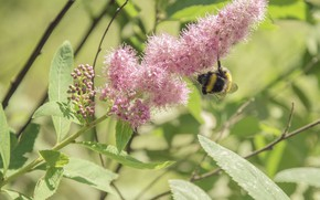 Picture flower, summer, the sun, macro, Pink, bumblebee