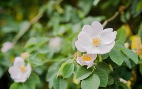 Picture white, flower, Bush, Jasmine