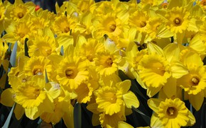 Picture spring, daffodils, yellow flowers