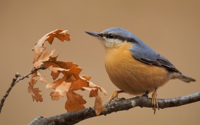 Picture autumn, leaves, background, bird, branch, nuthatch