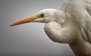 Picture background, bird, great egret