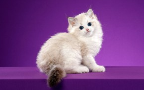 Picture cat, look, pose, kitty, background, lilac, muzzle, cute, kitty, sitting, Studio