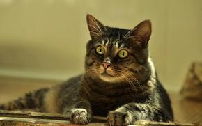 Picture cat, cat, look, light, grey, portrait, lies, striped, green eyes