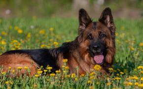 Picture dog, red, dandelions, German shepherd, shepherd, longhair, Norway de Zauber Hof