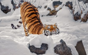 Picture winter, look, face, snow, tiger, pose, stones, back, the snow, happy, stretching