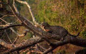Picture language, light, branches, tree, mouth, lies, Jaguar