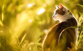 Picture cat, grass, cat, look, face, light, nature, portrait, profile, sitting, bokeh, grey with white