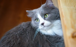 Picture cat, cat, look, face, grey, background, portrait, fluffy, Board, green eyes, smoky, handsome