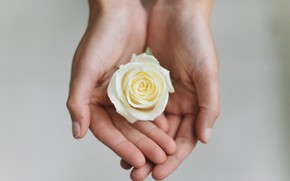 Picture flower, rose, hands