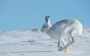Picture winter, snow, jump, hare, the snow, profile, blue sky