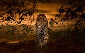 Picture sunset, branches, predator, leopard, wild cat