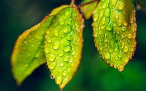 Picture leaves, drops, macro, Rosa, dew drops