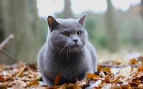 Picture autumn, cat, cat, look, leaves, nature, grey, British