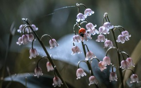 Picture macro, flowers, nature, ladybug, beetle, insect, lilies of the valley, Nelia Rachkov